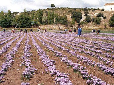 cultivo de azafranes