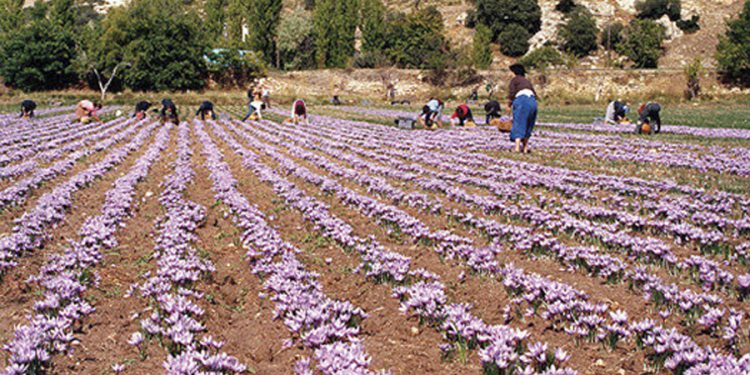 Cultivar azafran latest guia de cultivo de azafran with - Como cultivar azafran ...